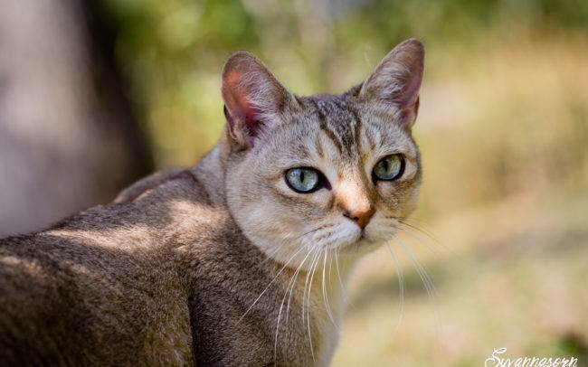 geneva geneve photographe photographer chat petbook petshoot seance photo animal animaux felin outdoor exterieur