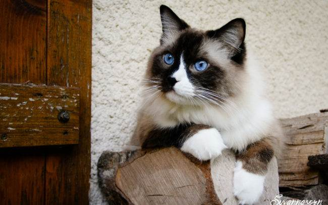 cat chat ragdoll petshoot petbook animaux animal outdoor exterieur photographe photographer geneva geneve seance photo shoot shooting