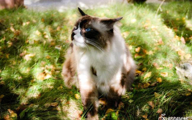 cat chat ragdoll petshoot petbook animaux animal outdoor exterieur photographe photographer geneva geneve seance photo shoot shooting