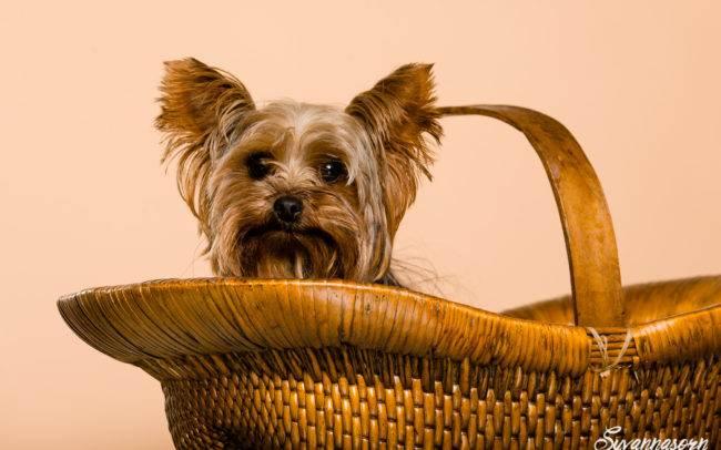 photographe petshoot petbook animaux chien chiot geneve geneva studio