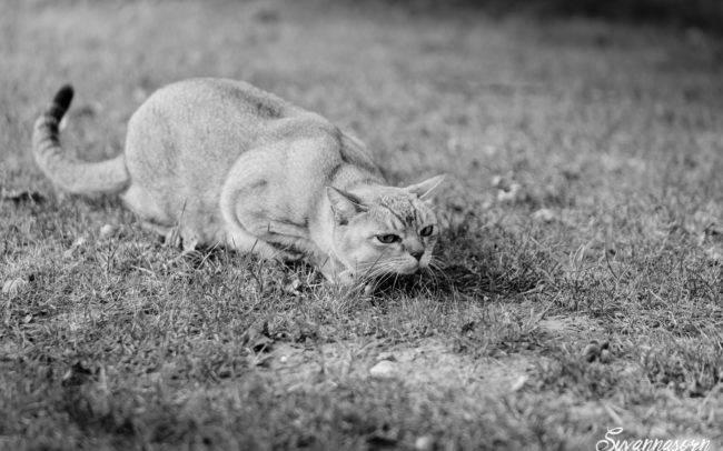 photographe petshoot petbook animaux chat nb noir blanc geneve geneva studio