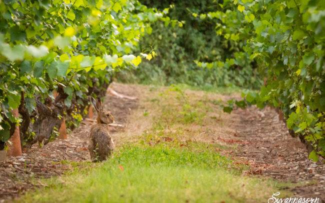 photographe animalier animaux lièvre lapin extérieur suisse genève
