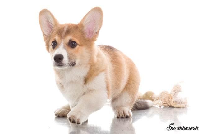 photographe genève chien chat book animal petshoot petbook welsh corgi